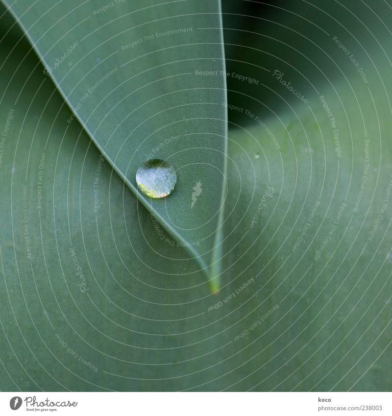 ... wer Perlen finden will ... elegant schön Pflanze Wassertropfen Blatt Tropfen außergewöhnlich Flüssigkeit glänzend nass rund Spitze grün schwarz weiß