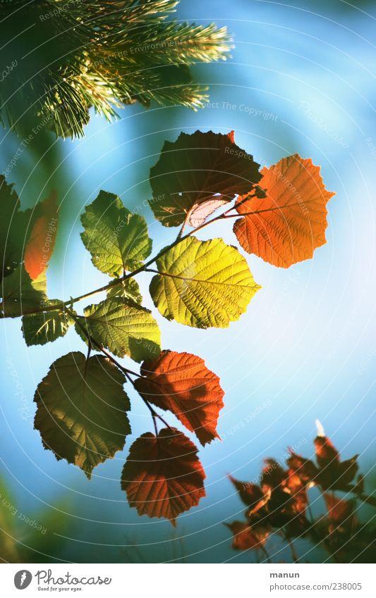 bunte Mischung Natur Himmel Sonnenlicht Frühling Sommer Herbst Blatt Zweige u. Äste Verschiedenheit Tannenzweig Haselnussblatt Ahornzweig authentisch natürlich