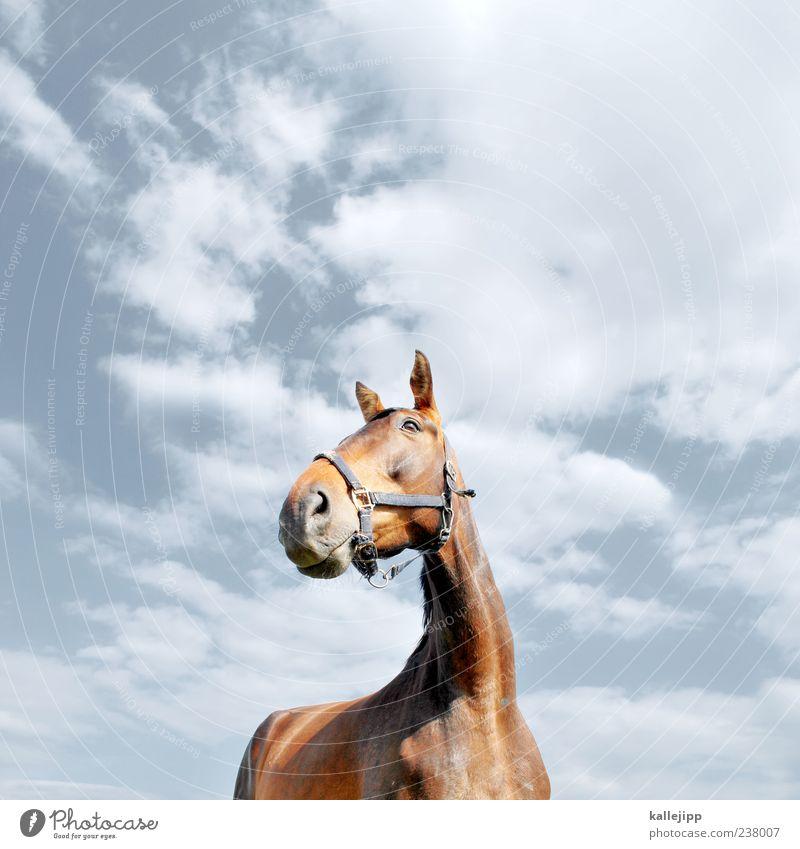 pferdperspektive Lifestyle elegant Stil Natur Himmel Wolken Schönes Wetter Tier Nutztier Pferd 1 Blick Zaumzeug Ohr Wachsamkeit Stolz Kraft Hals Fell Farbfoto