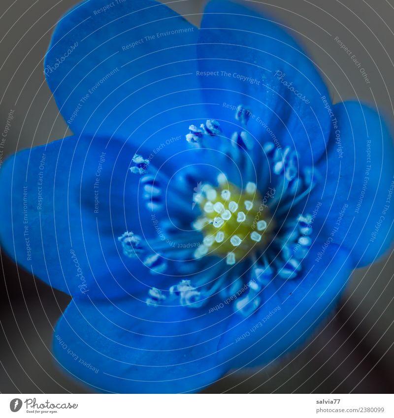 blaues Wunder Natur Pflanze Frühling Sommer Blume Blüte Wildpflanze Leberblümchen Garten Blühend Duft ästhetisch schön einzigartig ruhig Pollen Stempel