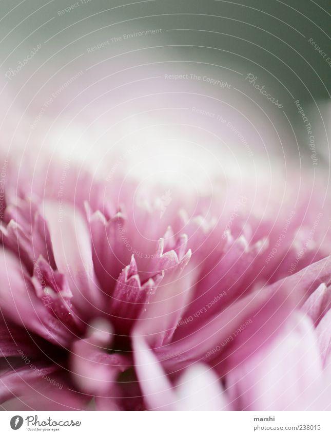 Blütenkelche Natur Pflanze Blume violett rosa schön Unschärfe Makroaufnahme Detailaufnahme Farbfoto Außenaufnahme Textfreiraum oben Textfreiraum Mitte