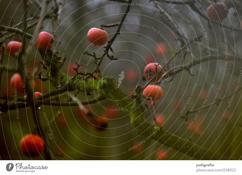 Winteräpfel Natur Baum Pflanze Umwelt dunkel Garten Stimmung Frucht natürlich Wachstum Apfel hängen vergessen schlechtes Wetter Zweige u. Äste dehydrieren