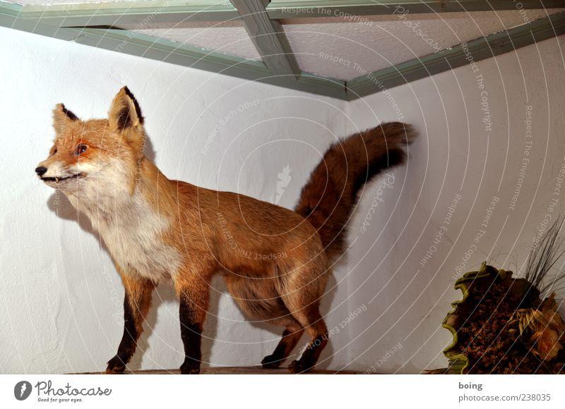 FDPC Fuchs 1 Tier Dekoration & Verzierung Tierpräparat ausgestopft Innenaufnahme bewegungslos Ganzkörperaufnahme Menschenleer