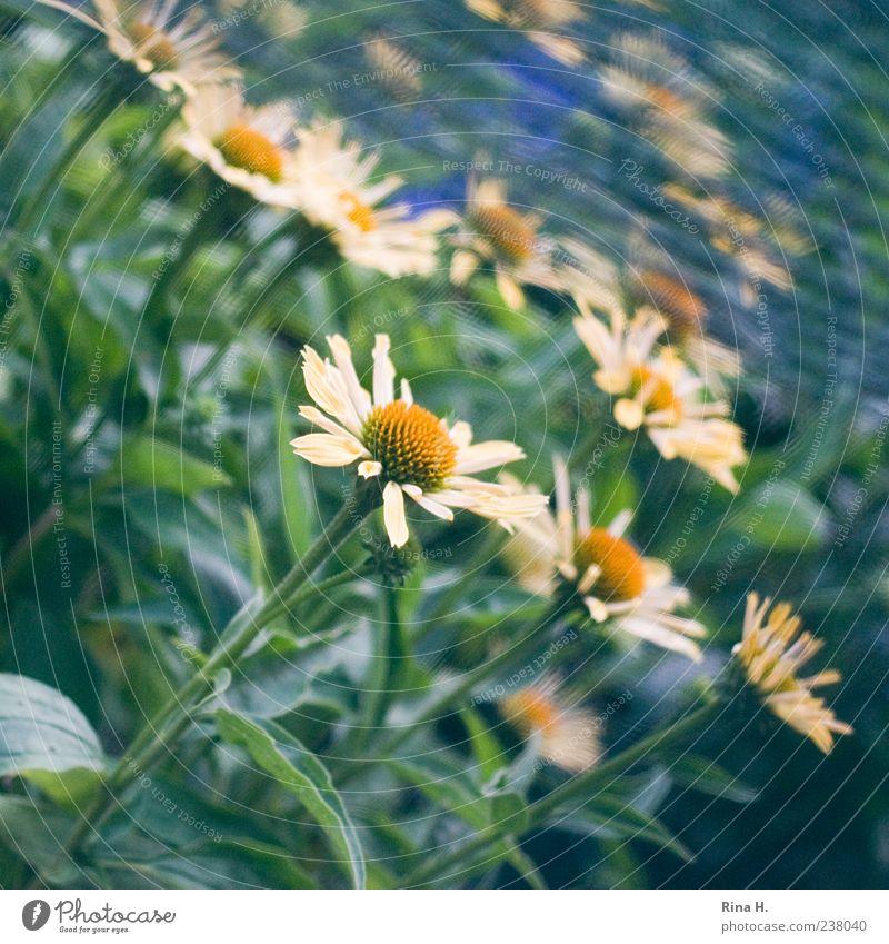 Margariten Natur weiß Pflanze Sommer Blume Blüte mehrere Blühend Quadrat Margerite Blütenblatt Sommerblumen