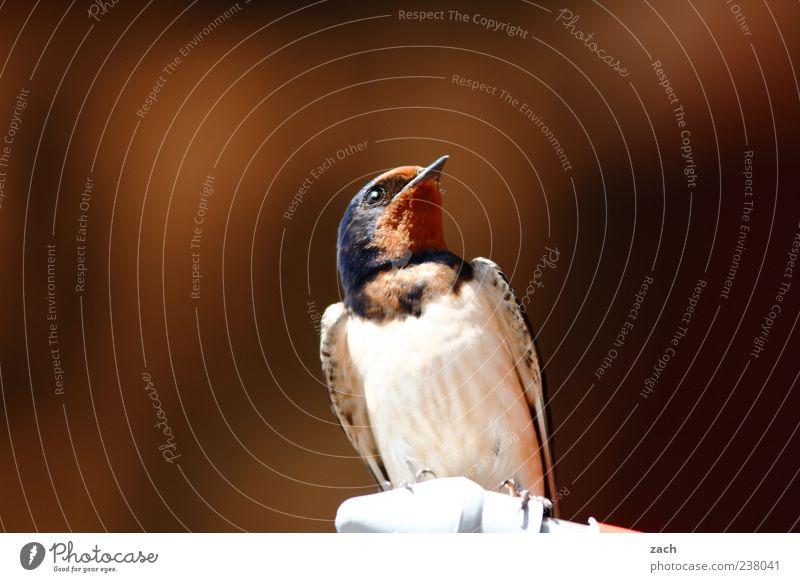 Im Ausguck Tier Vogel Flügel Schwalben 1 ästhetisch elegant frei niedlich braun mehrfarbig Natur Feder Schnabel Farbfoto Menschenleer Textfreiraum links