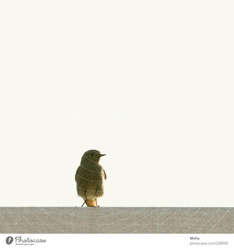Schneller Brüter Tier Vogel Hausrotschwanz 1 hocken Blick sitzen frei klein natürlich niedlich Umwelt Farbfoto Außenaufnahme Menschenleer Textfreiraum oben Tag
