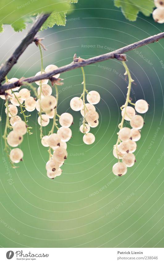 für den Träublekuchen Frucht Sommer Umwelt Natur Pflanze Frühling Sträucher Nutzpflanze Wildpflanze grün rot Johannisbeeren Beeren Beerensträucher Farbfoto