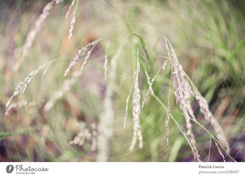 Grasgeflüster Umwelt Natur Pflanze Blüte Grünpflanze Wildpflanze Wiese Farbfoto Außenaufnahme Nahaufnahme Detailaufnahme Tag Licht Unschärfe