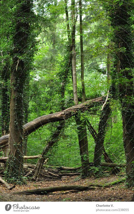 Umgefallen Umwelt Natur Tier Sommer Schönes Wetter Pflanze Baum Efeu Wald Urwald Laubwald Wildnis fantastisch natürlich braun grün ruhig Erholungsgebiet
