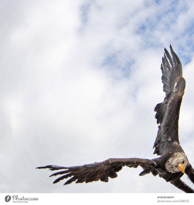 rechter winkel Jagd Sommer Natur Himmel Wolken Tier Wildtier Vogel Tiergesicht Flügel 1 fliegen Aggression ästhetisch Jäger Farbfoto Außenaufnahme