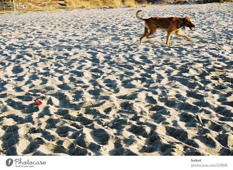 Hol das Stöckchen Hund Strand Fell Meer Spielen dressieren Fußspur Haustier Sand