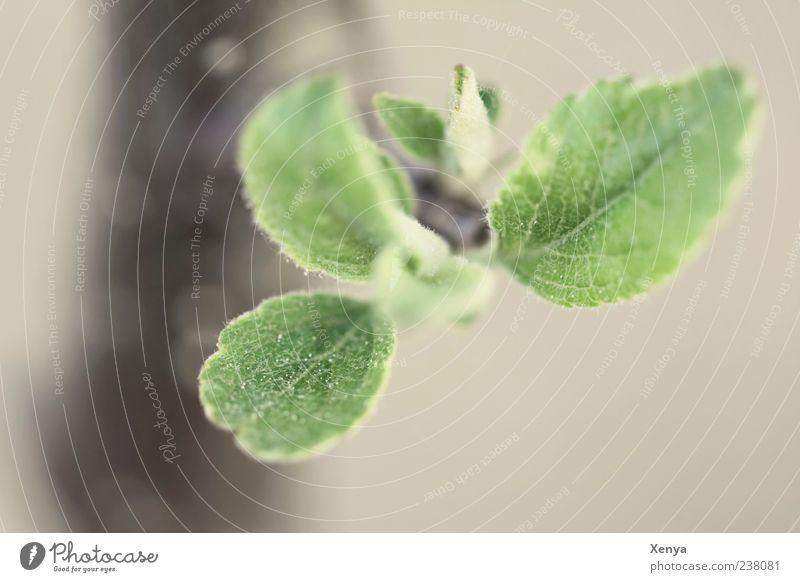Haariges Grün grün Baum Pflanze Blatt grau Trieb