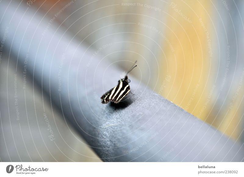 Fliegendes Zebra Natur blau weiß schön Tier schwarz grau Wildtier sitzen außergewöhnlich natürlich ästhetisch Flügel einzigartig fantastisch Schmetterling