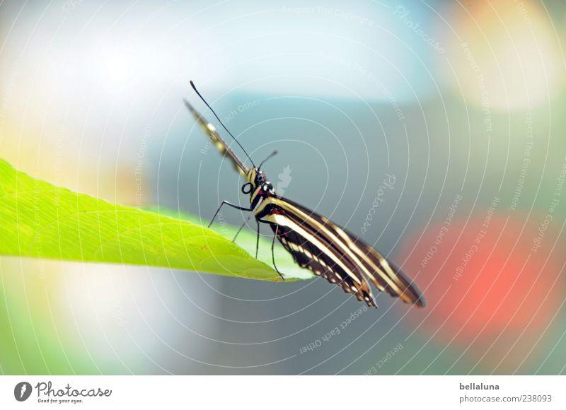 Schlagseite Umwelt Natur Blatt Grünpflanze Tier Wildtier Schmetterling Tiergesicht Flügel 1 sitzen ästhetisch außergewöhnlich exotisch fantastisch hell schön