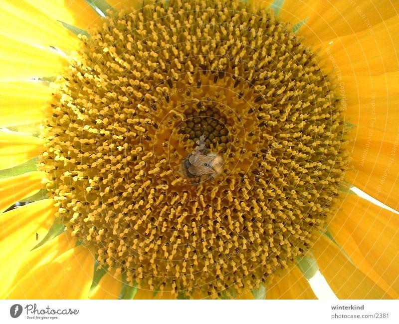 sonnenblume Blume Sommer gelb Blüte Sonnenblume Hummel