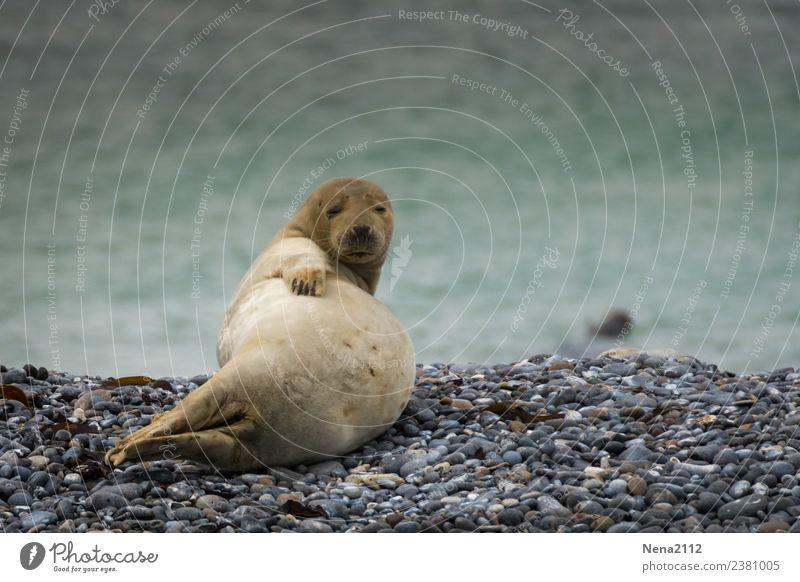 Jahreszeiten   endlich Bauchfrei Natur Erholung Tier Strand Tierjunges Umwelt Küste liegen Wildtier warten Ostsee Bucht Nordsee Robben Landraubtier bauchfrei