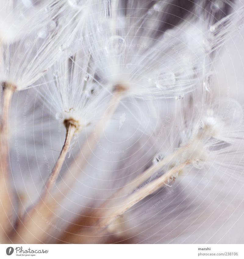 Federweißer Natur Pflanze weich Löwenzahn Wassertropfen Tropfen Samen Farbfoto Nahaufnahme Detailaufnahme Makroaufnahme Textfreiraum zart zierlich
