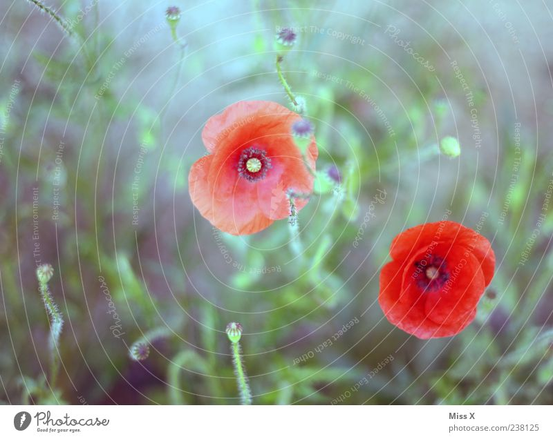 gemalt Pflanze Sommer Blatt Blüte Wildpflanze Blühend Wachstum rot Mohn Mohnblüte Mohnkapsel Farbfoto Außenaufnahme Menschenleer Schwache Tiefenschärfe