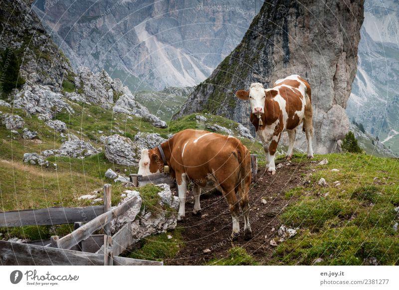 zwei Natur Ferien & Urlaub & Reisen Sommer Landschaft Tier Berge u. Gebirge Wiese Felsen Ausflug Zufriedenheit wandern Idylle Neugier Hügel Alpen Sommerurlaub