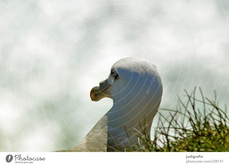 Island Natur weiß schön Tier Umwelt Vogel Wildtier natürlich Schnabel Vogelauge Vogelkopf Eissturmvogel