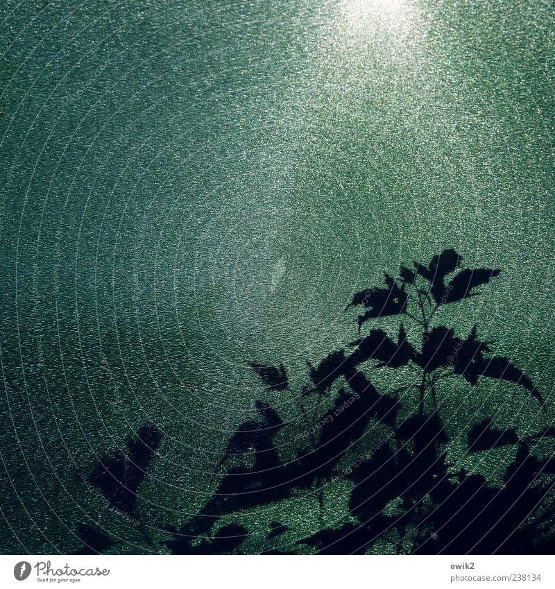 Unterm Baldachin Natur weiß grün Pflanze Blatt schwarz Wetter glänzend Wachstum leuchten Schönes Wetter Kunststoff Textfreiraum mystisch Wildpflanze Weinranken