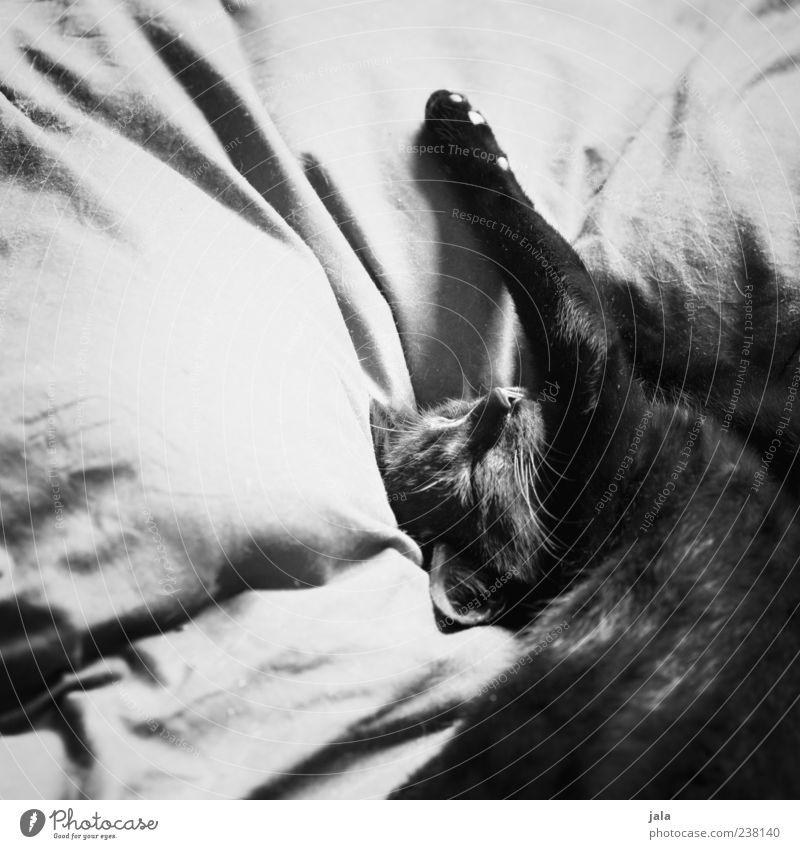 genießer Tier Haustier Katze Tiergesicht Pfote 1 genießen liegen schlafen ästhetisch schön Vertrauen Geborgenheit Schwarzweißfoto Innenaufnahme Menschenleer