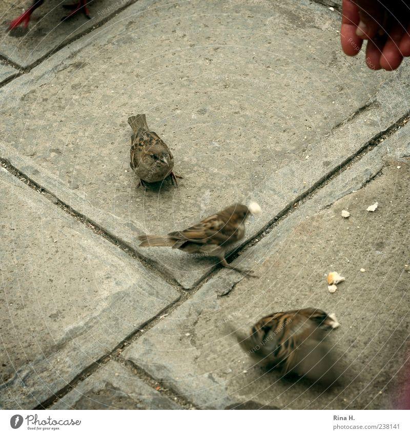 Spatzen von Venedig Vogel 3 Tier Fressen füttern Hand Straßenbelag Quadrat Außenaufnahme Vogelperspektive Brotkrümel Bewegungsunschärfe Finger flattern