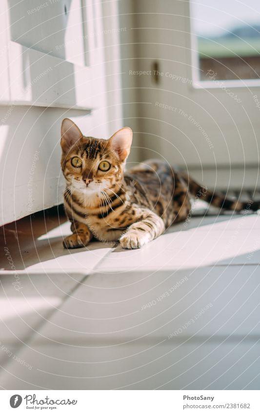 Bengal Cat Haustier Katze 1 Tier genießen schön klein dünn braun gold schwarz Bengalen Hauskatze Liebling Sonnenbad Farbfoto Innenaufnahme Menschenleer