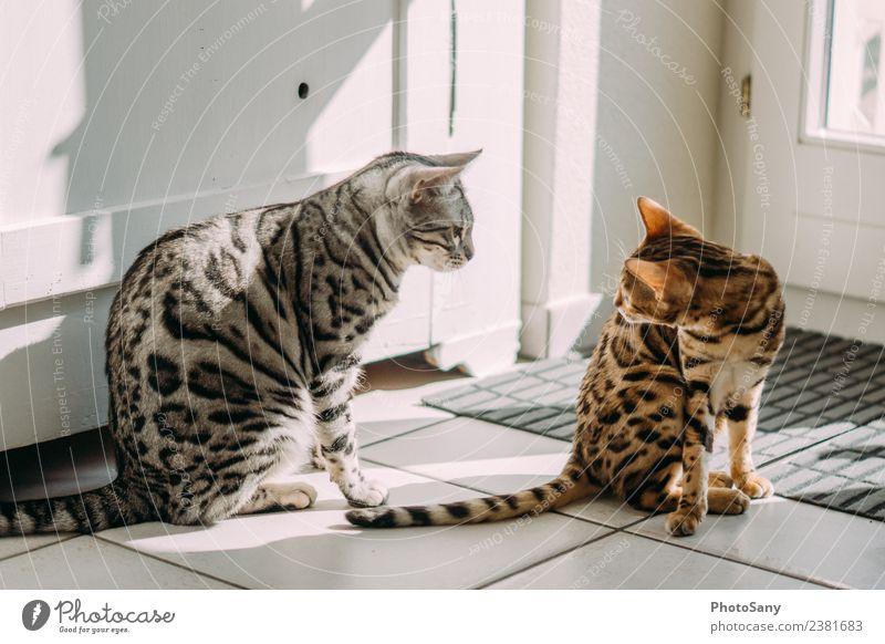My two Bengals Tier Haustier Katze Hauskatze Bengalen 2 beobachten hell Wärme braun gold grau schwarz silber Fellfarbe Spielen Farbfoto Innenaufnahme