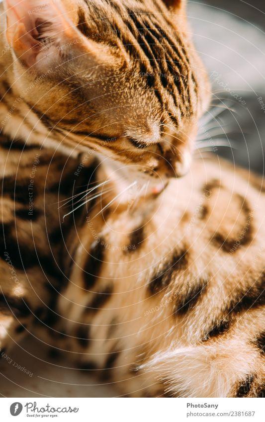 The Bengal Tier Haustier Katze Bengalen Hauskatze 1 hell Sauberkeit braun schwarz elegant Körperpflege Muster Fell Fellpflege Fellfarbe Farbfoto Innenaufnahme