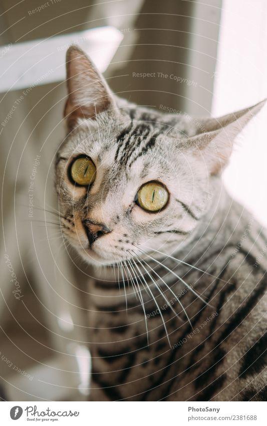 Silver Bengal Tier Haustier Katze Fell 1 grau schwarz weiß Fellfarbe Katzenauge Katzenkopf Katzenohr Bengalen Farbfoto Innenaufnahme Vogelperspektive