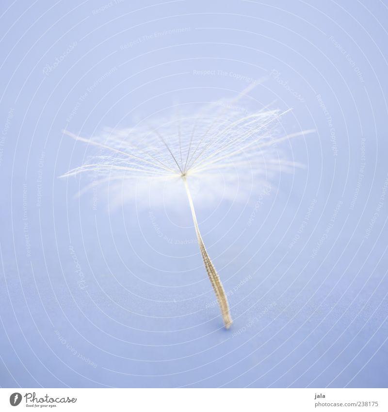 pappus weiß Pflanze Blüte weich Löwenzahn leicht Samen fein filigran hell-blau Vor hellem Hintergrund Pappus