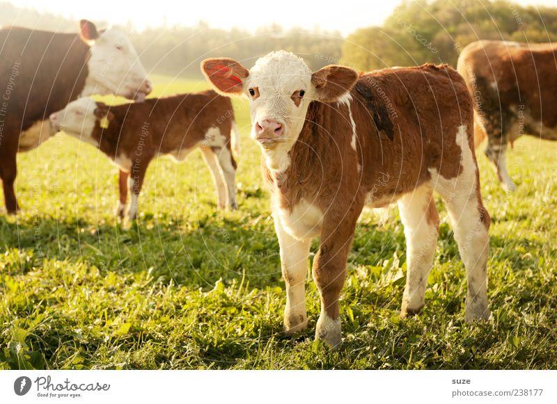 Bulli Natur Sommer Tier Umwelt Gesunde Ernährung Tierjunges Wiese klein Glück Lebensmittel Feld niedlich Tiergruppe Landwirtschaft Weide Tiergesicht