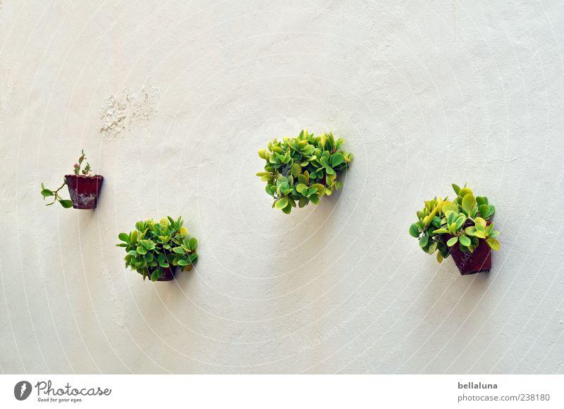 3..., 2..., 1..., keins! Natur Frühling Sommer Schönes Wetter Pflanze Blatt Grünpflanze Topfpflanze exotisch braun grün weiß Teneriffa hängen Wand Blumentopf