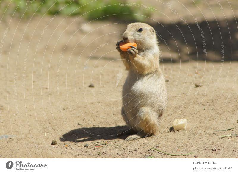 Präriehund-Picknik Möhre Wüste Savanne Steppe Wildtier Tiergesicht 1 Fressen füttern genießen Gesundheit niedlich braun Erdhörnchen Farbfoto Außenaufnahme