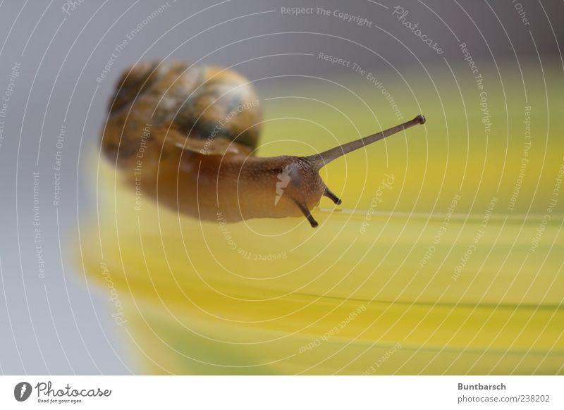 wie auf Schienen Tier ruhig gelb Leben Bewegung braun natürlich weich Glätte Schnecke Ekel Schalen & Schüsseln krabbeln Ausdauer Fühler geduldig