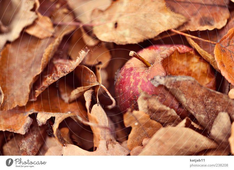 Apple Natur alt rot Blatt Herbst Lebensmittel Frucht Vergänglichkeit Apfel saftig herbstlich verdorben Makroaufnahme gammeln