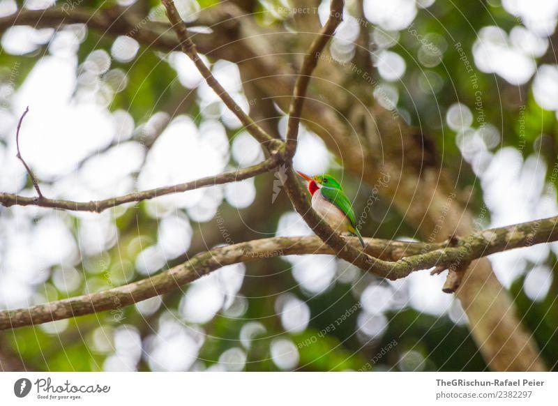 Grüner Todi Tier 1 braun grau grün rot Kuba kubanischer Vogel Ast fliegen Zweige u. Äste Baum Blatt Licht Schnabel Metallfeder niedlich Farbfoto Außenaufnahme