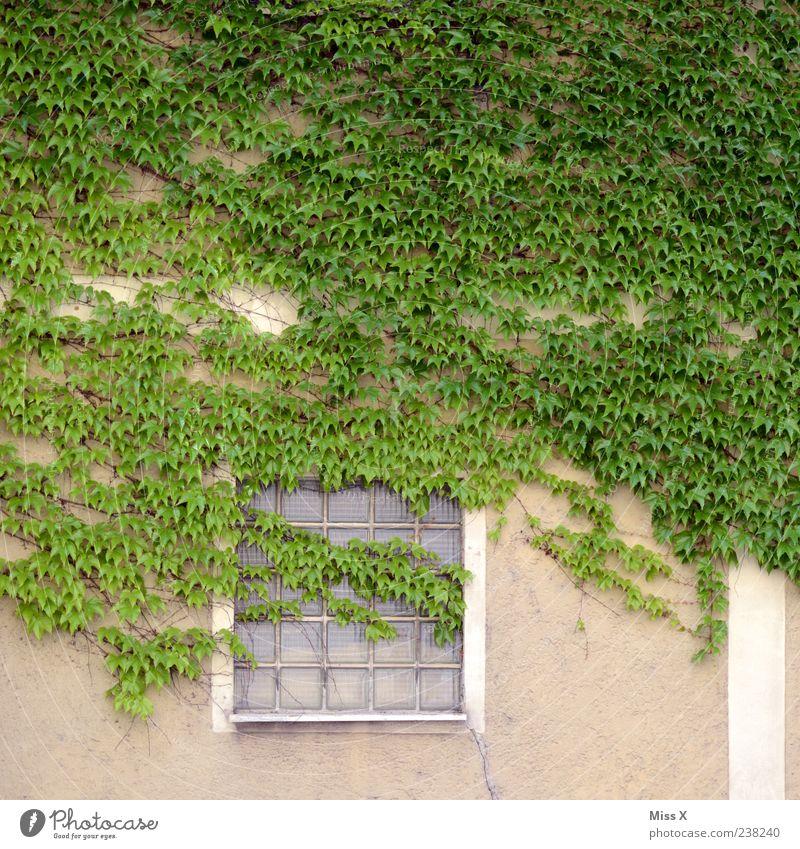 Efeu grün Pflanze Blatt Haus Fenster Wand Mauer Fassade Wachstum Sträucher Ranke Glasbaustein