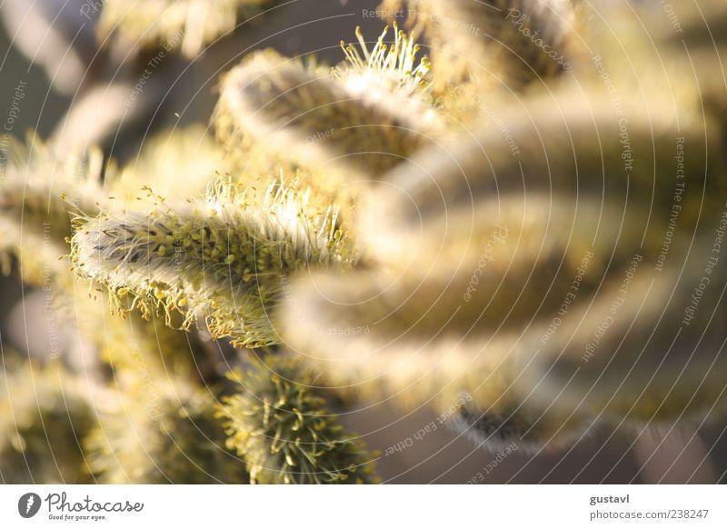 Kätzchen des Frühlings Natur schön Pflanze Umwelt klein hell authentisch Sträucher nah Duft Grünpflanze Weidenkätzchen natürliche Farbe
