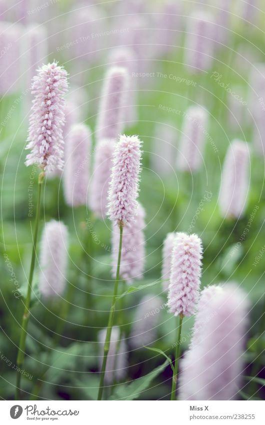flauschig Pflanze Frühling Blume Blatt Blüte Wiese Blühend Duft Wachstum rosa Farbfoto Außenaufnahme Nahaufnahme zierlich zart Blumenwiese viele Menschenleer