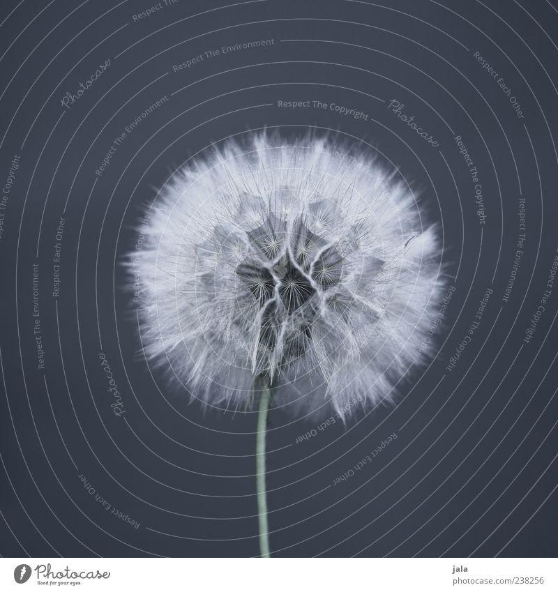 ruderalia weiß grün schön Pflanze Blume grau elegant ästhetisch rund Vergänglichkeit weich einfach Löwenzahn Leichtigkeit fein Pollen