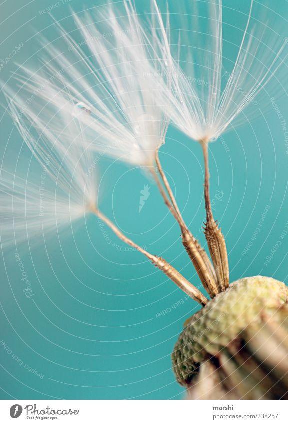 drei Fächer Natur Pflanze weich türkis Löwenzahn 3 Samen Makroaufnahme Detailaufnahme Nahaufnahme Farbfoto Pollen Textfreiraum oben Textfreiraum links