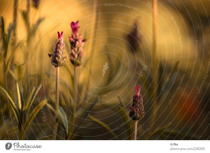 Schöne Pfingsten Umwelt Natur Pflanze Sträucher Blatt Blüte Lavendel Garten Blühend Duft Wachstum schön gelb grün violett Farbfoto Gedeckte Farben Außenaufnahme