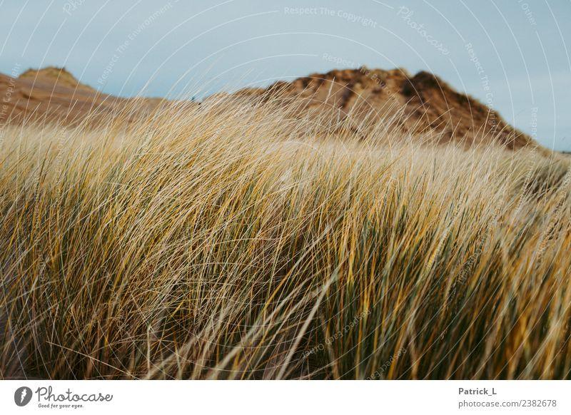Lieblingsdüne Natur Landschaft Pflanze Erde Gras Sträucher Küste Strand Ostsee Düne Skagen Dänemark gelb gold grün Geborgenheit ruhig Sand Himmel Wind