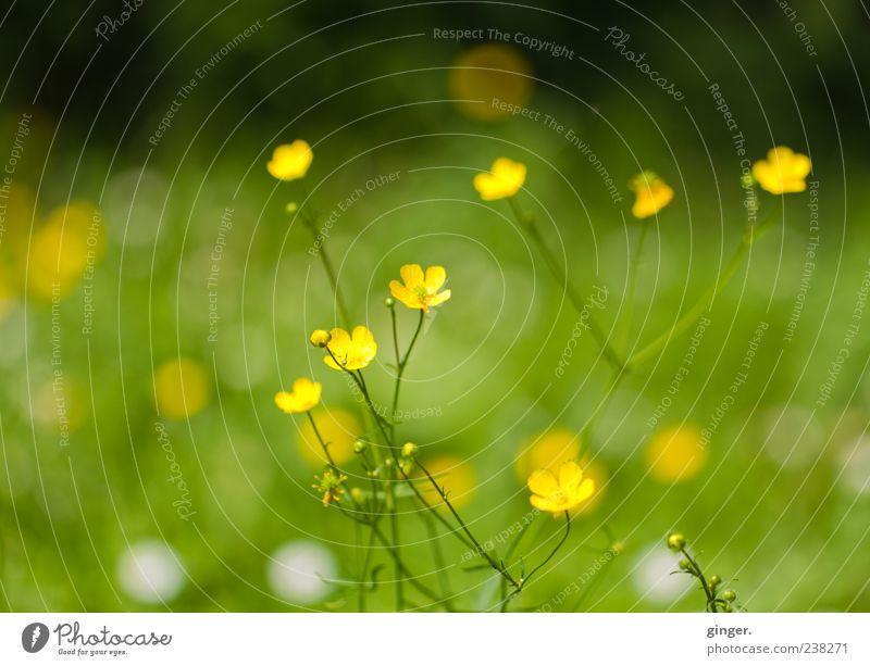 Sommerwiese Umwelt Natur Pflanze Schönes Wetter Blume Gras Wildpflanze Garten Wiese glänzend verblüht Wachstum gelb grün weiß dreifarbig Sumpf-Dotterblumen