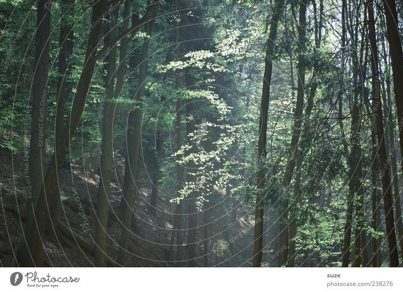 Waldlicht Landwirtschaft Forstwirtschaft Umwelt Natur Landschaft Erde Klima Baum Baumstamm Waldboden Blatt authentisch natürlich schön braun grün Gefühle