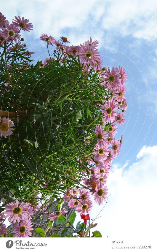 Blümchen Himmel Frühling Sommer Pflanze Blume Blatt Blüte Garten Blühend Duft Wachstum blau rosa Farbfoto mehrfarbig Außenaufnahme Menschenleer