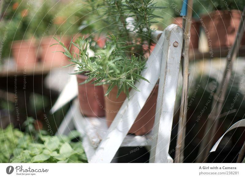rosmary for sale Frühling Schönes Wetter Pflanze Nutzpflanze Wildpflanze Kräuter & Gewürze Rosmarin frisch Spitze grün Angebot Regal Blumentopf Präsentation