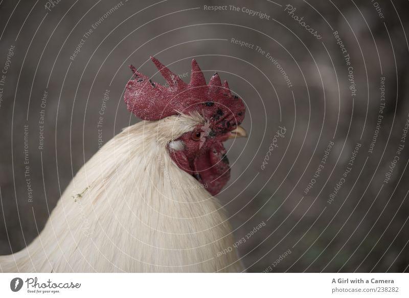 kUHNibert Landschaft Tier Nutztier Haushuhn 1 Blick authentisch Freundlichkeit Fröhlichkeit Glück natürlich rot weiß Natur Hahn Hahnenkamm gefiedert Feder